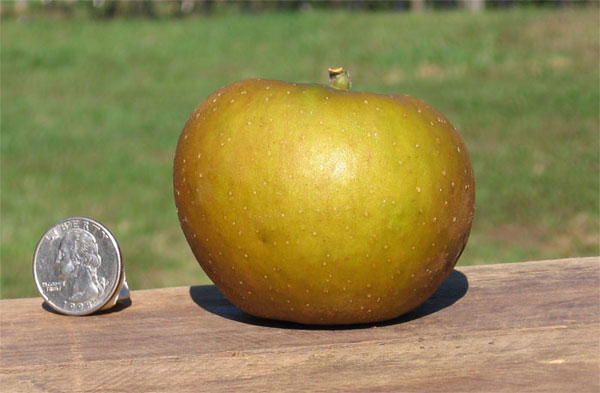 Types Of Yellow Apple's http://www.centuryfarmorchards.com/niche/wildlife.html